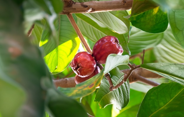 Malay rose apple fruit Premium Photo