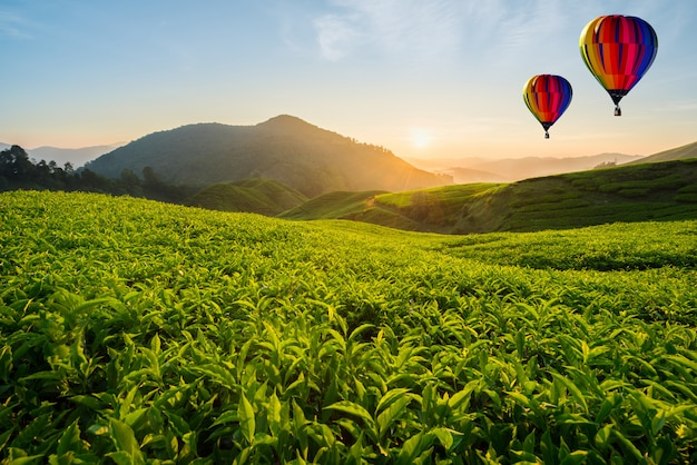 Malaysia tea plantation at cameron highlands with hot air ballon in morning in malaysia Premium Photo