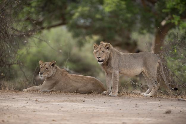 Самец и самка льва, отдыхая на земле с размытым фоном Бесплатные Фотографии