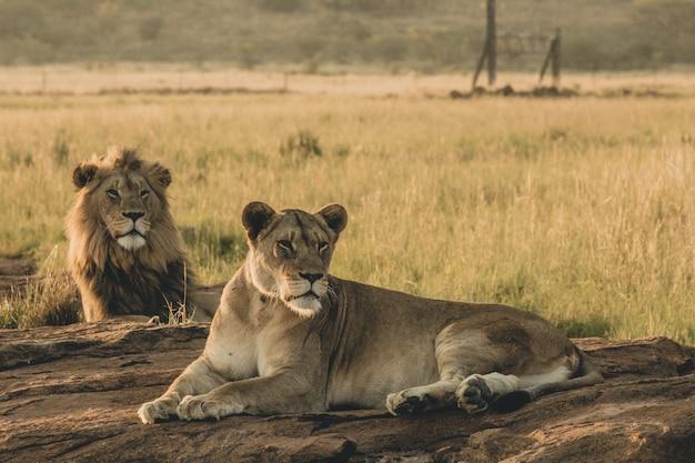 Мужские и женские львы лежа на песке и отдыхая Бесплатные Фотографии