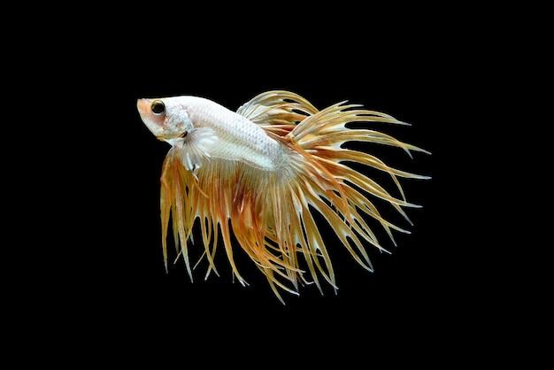 Male crown tail betta splendens or siamese fighting fish Free Photo
