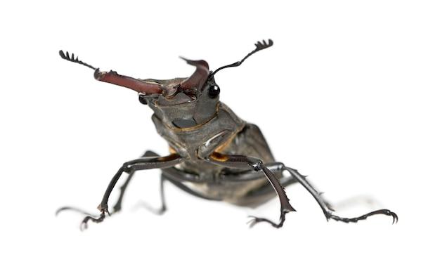Male европейский жук-олень - lucanus cervus - самый известный вид жука-оленя, семейство lucanidae Premium Фотографии