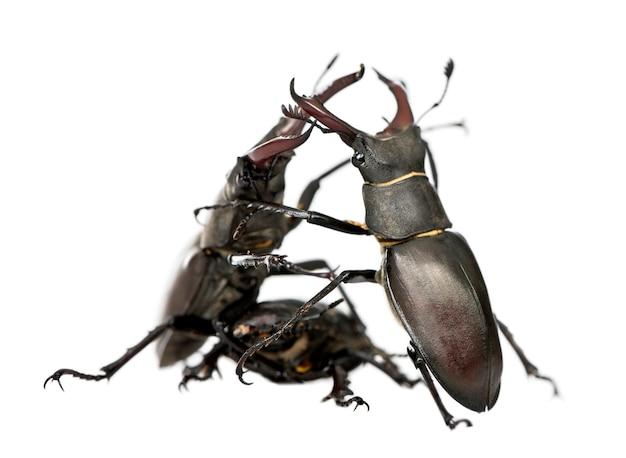 Самец европейского жука-оленя сражается, цервус lucanus изолирован Premium Фотографии