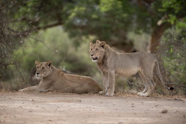 Leone maschio e femmina appoggiato a terra con uno sfondo sfocato Foto Gratuite