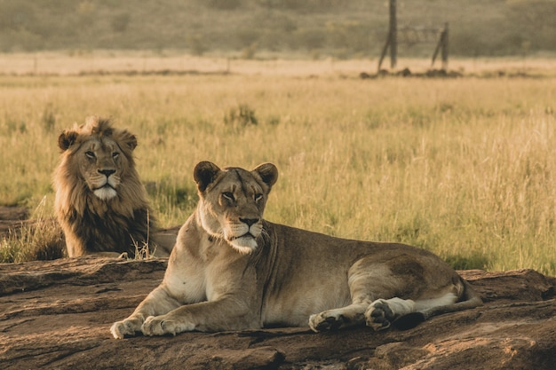 Male and female lions laying on the sand and resting Free Photo