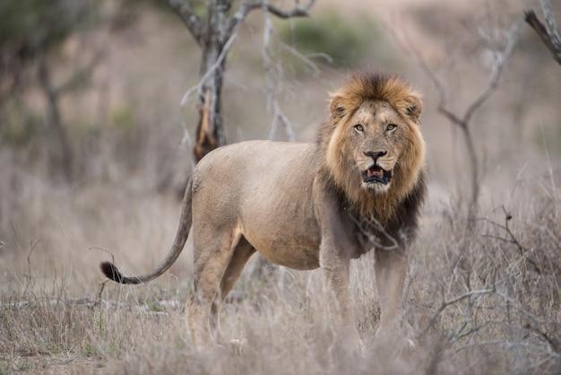 Leone maschio in piedi sul campo di bush Foto Gratuite