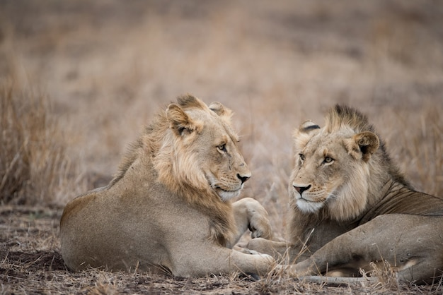 Male lions resting on the ground Free Photo