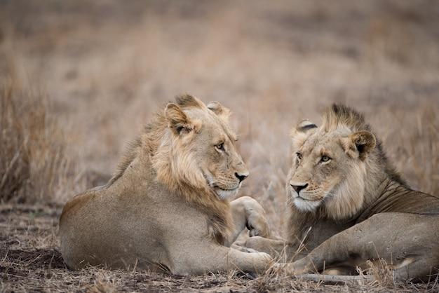 Самцы львов отдыхают на земле Бесплатные Фотографии
