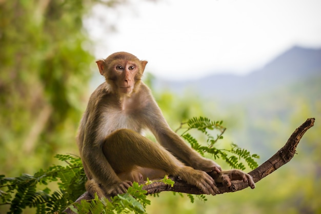 Male monkey sitting on a tamarin branch and mountain . Premium Photo