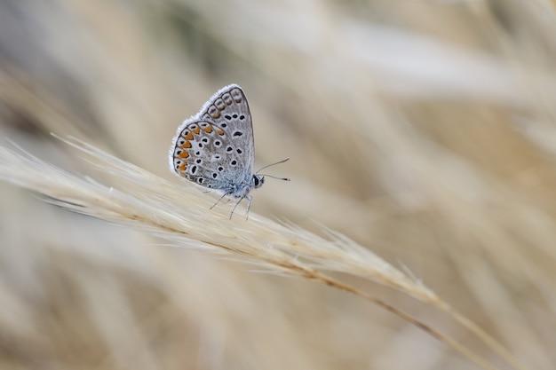 Maschio blu meridionale polyommatus celina Foto Gratuite
