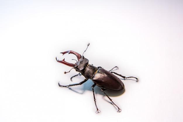 Мужской жук-олень, изолированные на whitewall жук-носорог. боевой жук. Premium Фотографии