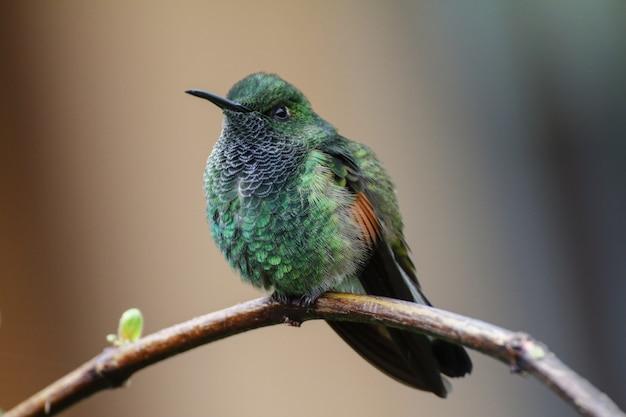 Male stripe-tailed hummingbird  eupherusa eximia Free Photo
