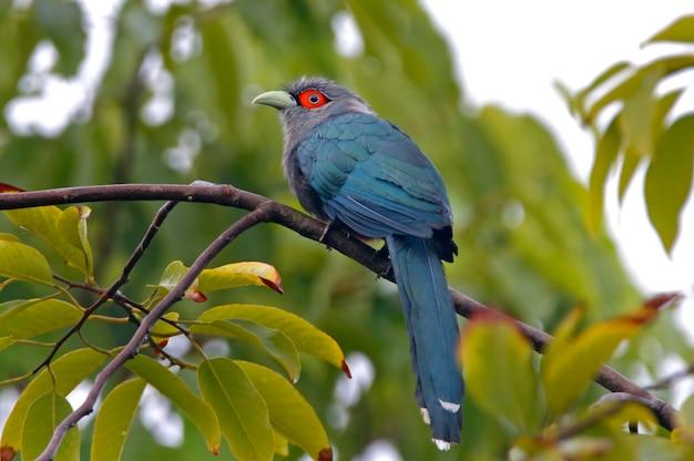 栗腹malkoha phaenicophaeus sumatranusタイの美しい鳥 Premium写真