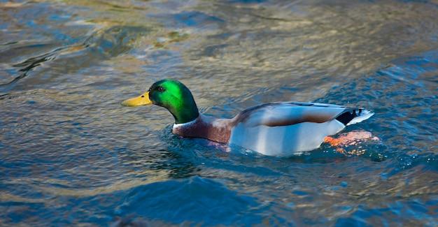 Mallard duck on the river Premium Photo