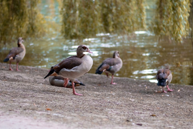 Mallard in the park of brussels, belgium Premium Photo