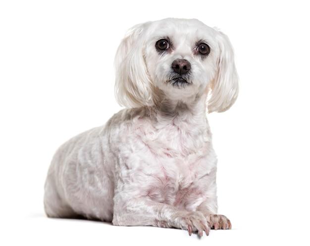 Мальтийская собака лежит Premium Фотографии