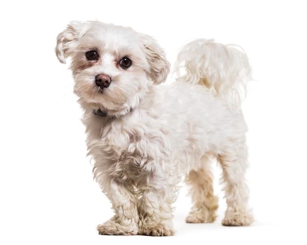 Мальтийская собака стоя Premium Фотографии