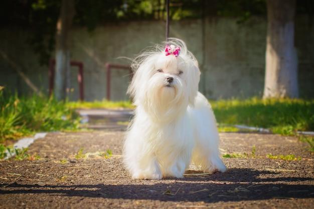 Мальтийская собака гуляет на улице Premium Фотографии
