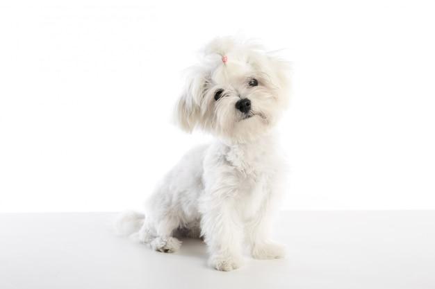 Maltichon puppy bichon maltese on white Premium Photo