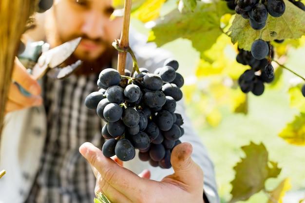男はワイン用の黒ブドウの熟した束を収穫します。ブドウ畑でワインを作るために秋のブドウの収穫を選ぶ男性の手。 Premium写真