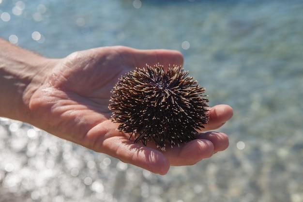 sea urchin decor.htm man hand holding a black sea urchin on the beach sea premium photo  man hand holding a black sea urchin on