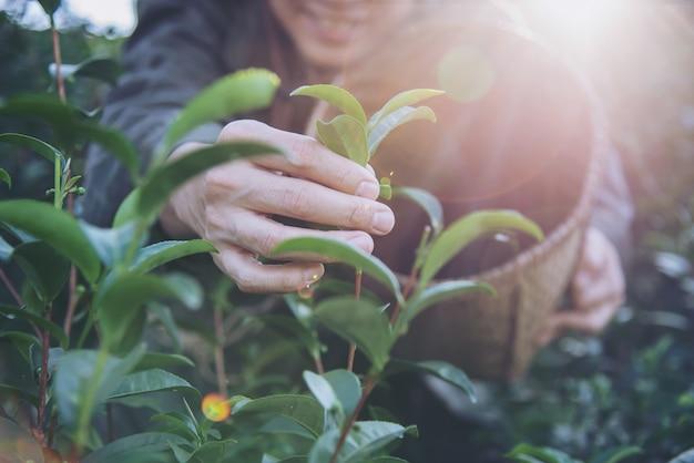 La raccolta dell'uomo / seleziona le foglie di tè verdi fresche all'alto campo del tè della terra in chiang mai thailand Foto Gratuite