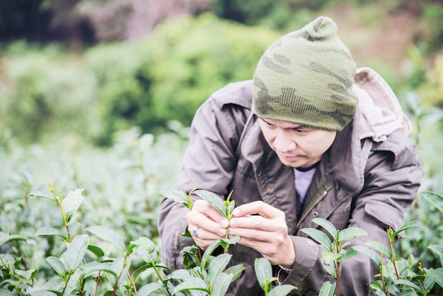 Man harvest / pick fresh green tea leaves at high land tea field in chiang mai thailand Free Photo