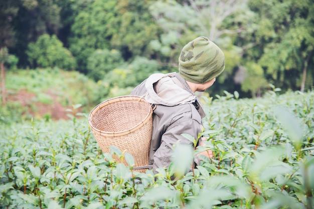 Man harvest / pick fresh green tea leaves at high land tea field in chiang mai thailand Free Photo