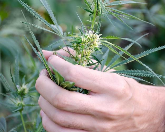 男はマリファナの葉、庭の花と麻の葉を手に保持しています。薬物中毒との戦いの概念。 Premium写真