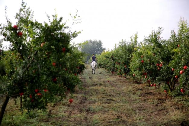 Man riding white horse through pomegranate garden Free Photo