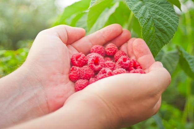 Man's hand with big red raspberries. tasty ripe red berries. Premium Photo