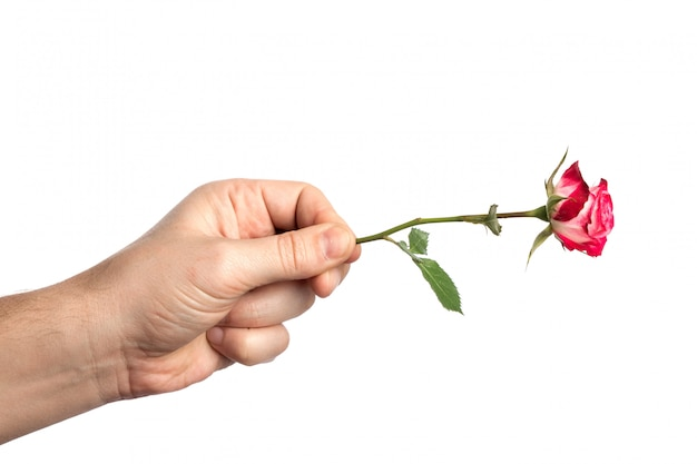 Man's hand with a pink rosed on white background Premium Photo