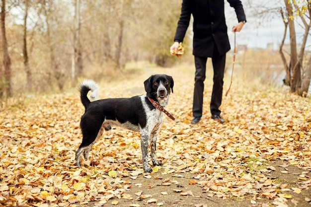 Man walks in the fall with dog spaniel autumn park Premium Photo