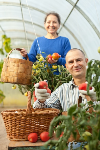 Man and woman picking tomatoes Free Photo