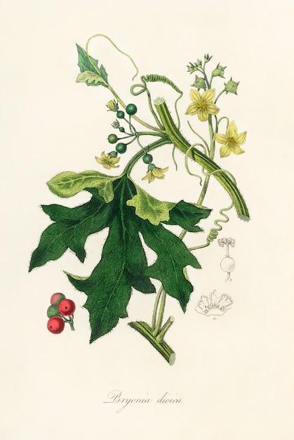 英語のmandrake(bryonia dioica)medical botany(1836)のイラスト 無料写真