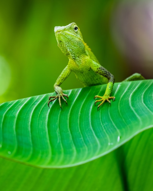 Maned forest lizard in a forest Free Photo