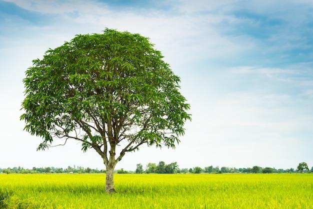 Mango tree in rice farm Premium Photo