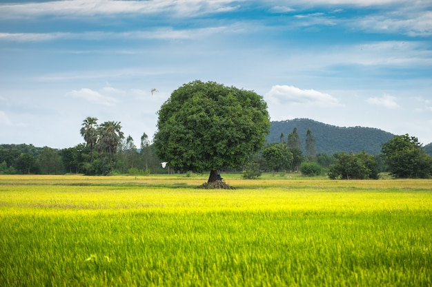 Mango tree on rice field with blue sky Premium Photo