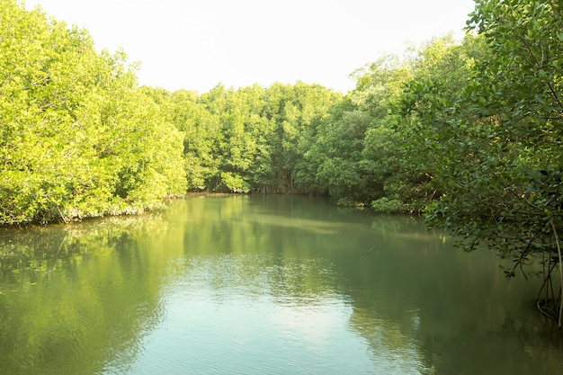 Mangroove forest river green perfect nature background in thailand Premium Photo