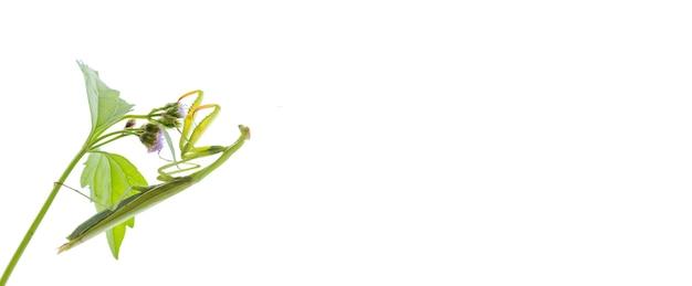 枝のカマキリ Premium写真
