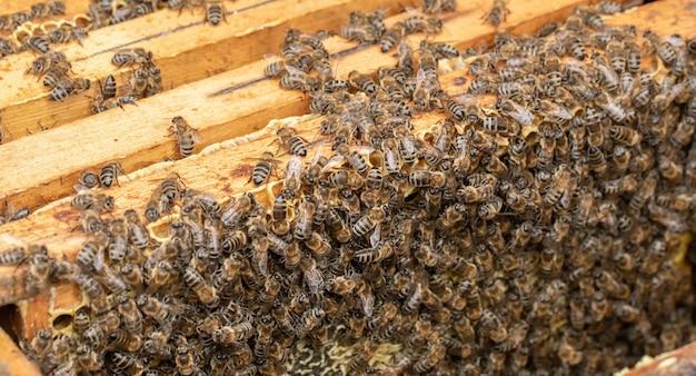 多くのミツバチがハニカムに取り組んでいます。蜂蜜の完全な細胞を詰める Premium写真