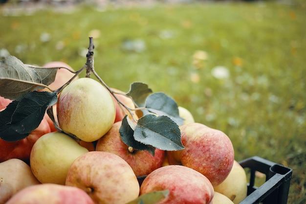 秋の庭のリンゴの木から、たくさんの大きな緑と赤のリンゴが採れたてです。あなたのテキストまたは広告情報のためのコピースペースでぼやけた緑の草に対して熟した新鮮な果物 無料写真
