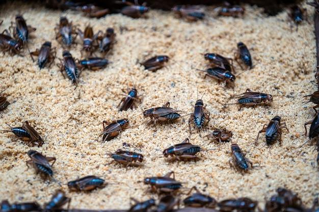 Многие сверчки на ферме насекомых в далате Premium Фотографии