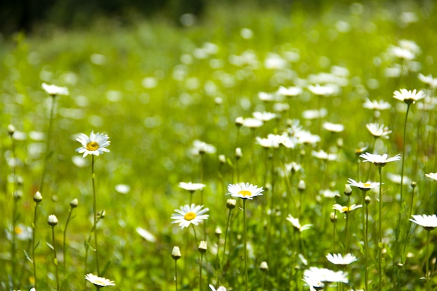 Many daisies on a green meadow Premium Photo