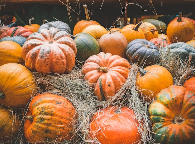 Many large orange pumpkins lie in the straw.  autumn harvest of pumpkins prepared for the holiday. Premium Photo