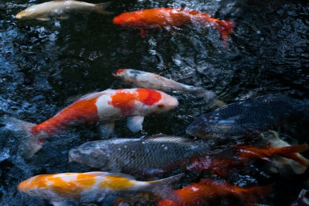 Many of fancy carp or koi fishes are swimming in the rock Koi fish swimming pool