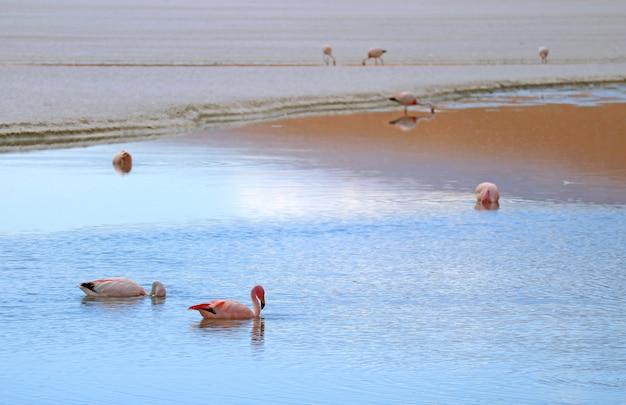 Many pink flamingos feeding in laguna hedionda Premium Photo