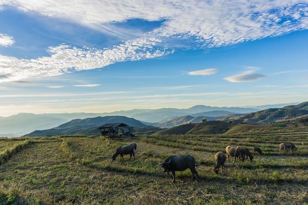 Many rice fields and buffalo landscape chiang mai thailand Premium Photo
