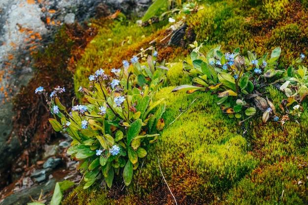 Множество маленьких синих цветков миозотиса на замшелых камнях. живописная природа с густым мхом и пышной горной растительностью. свежая зелень с капельками. смочите растения каплями. крупный план богатой альпийской флоры. Premium Фотографии