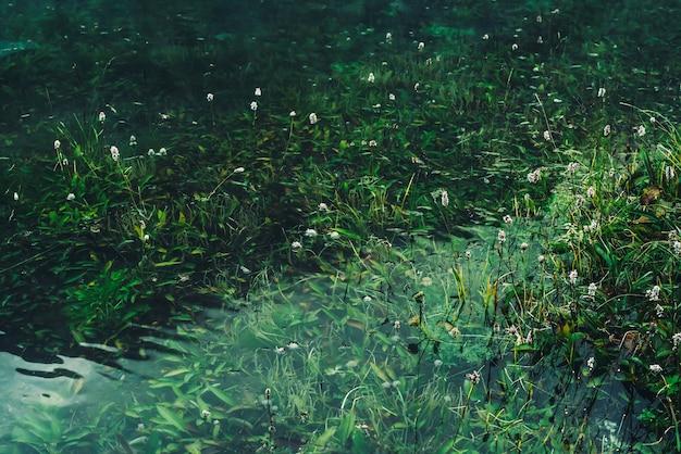 Многие маленькие цветы в прозрачной воде среди подводной зеленой травы после наводнения. зеленая природа с множеством цветков среди богатой растительности горного озера. Premium Фотографии